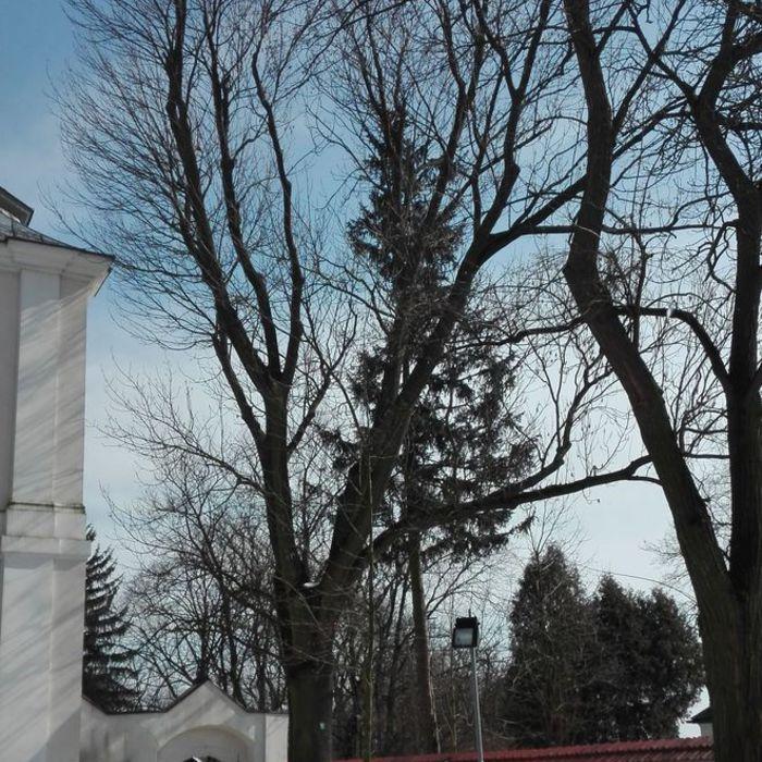 Galeria Pomniki przyrody w Sandomierzu