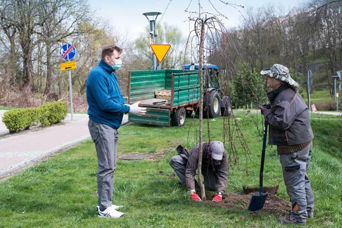 Galeria Nowe nasadzenia zastępcze drzew w Sandomierzu