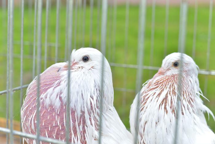 16. Na wystawie gołębie w klatkach
