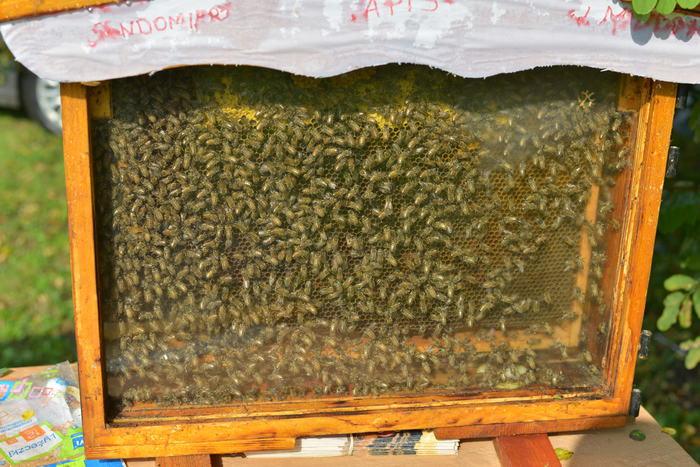 24. Pszczoły w przeszklonym mini ulu